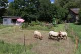Schafe - 168513274