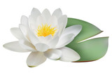 Realistic water lily