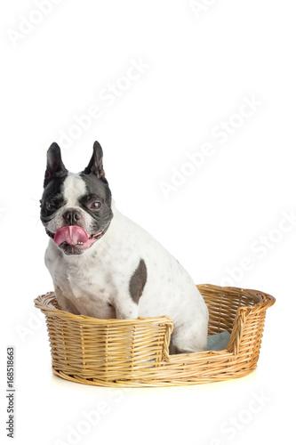 Fotobehang Franse bulldog French bulldog in basket