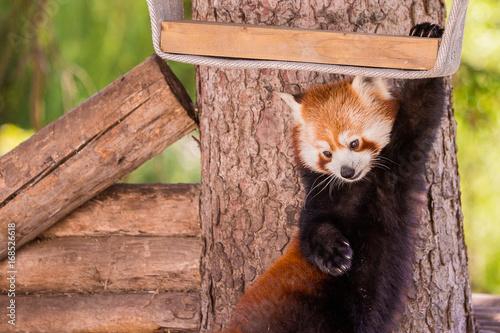Aluminium Panda Panda roux