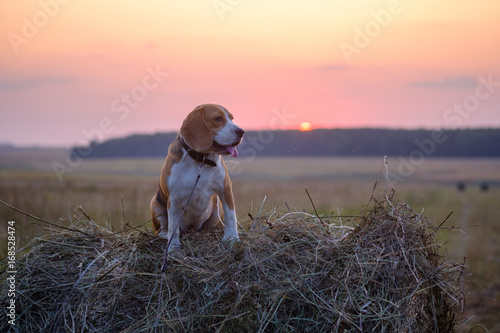 Fotobehang Lichtroze Dog Beagle on a roll of hay at sunset