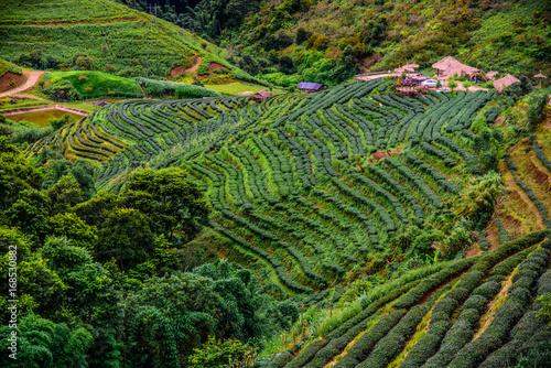 Foto op Canvas Rijstvelden Tea plantation at Doi Ang Khang, Fang, Chiang Mai, Thailand view. A beautiful terrace of tea plantation on the mountain at daytime.