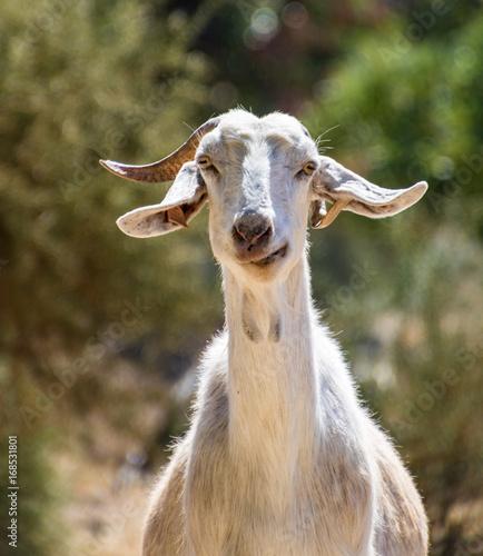Fotobehang Cyprus One Goat