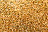Beautiful background of barley grain in a pile in the process of harvesting - 168538698