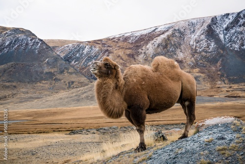 Fotobehang Kameel Camel standing proudly in mountain landscape