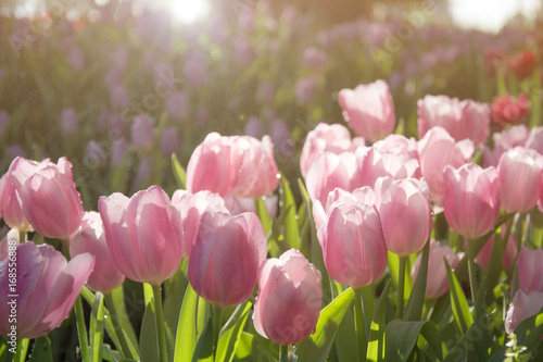 Fotobehang Tulpen Pink white tulips field with sun light and lens flare with purple and red tulips background