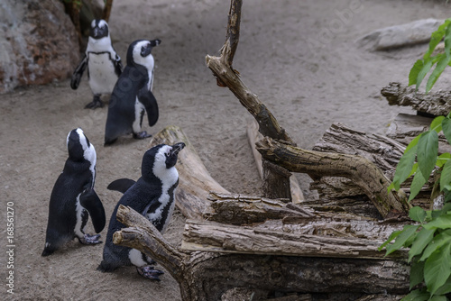 Aluminium Pinguin Group of black-and-white penguins spending time on the beach