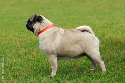 pug dog breed Poster