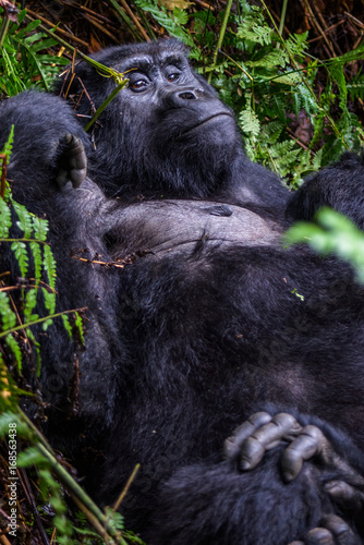 Plakat Portrait of a mountain gorilla with cub at a short distance