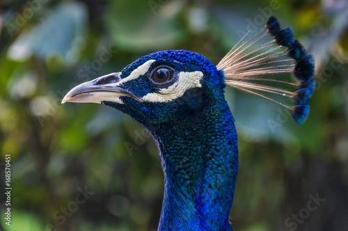 Fotobehang Pauw Peacock, in profile