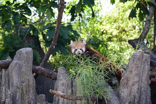 Aluminium Panda Panda minore (Ailurus fulgens)