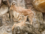 Barbary sheep is climbing on a steep cliff. - 168593290