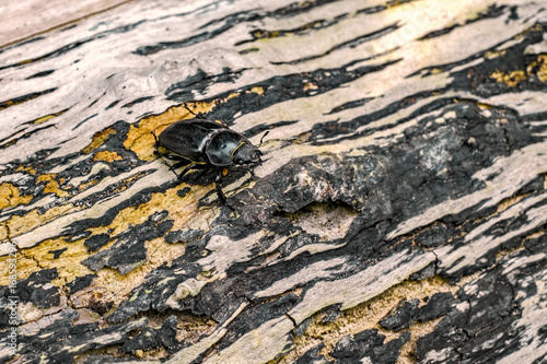 Beetle in nature on a tree trunk Poster