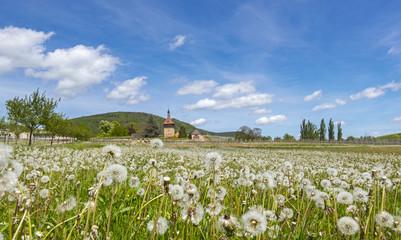 Pusteblumen (Taraxacum officinale) am Geilweilerhof