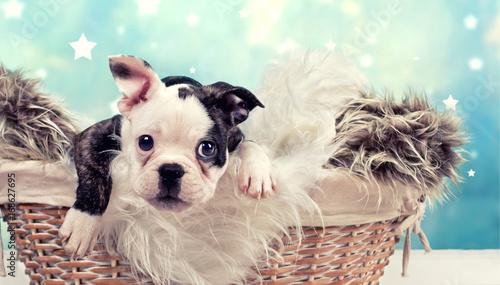 Foto op Plexiglas Franse bulldog kleiner Welpe - Bulldogge im Korb