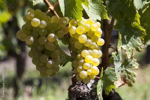 Fotobehang Wijngaard France. Vignoble de Sauternes, Gironde