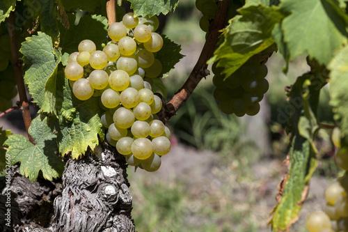 Papiers peints Vignoble France. Vignoble de Sauternes, Gironde