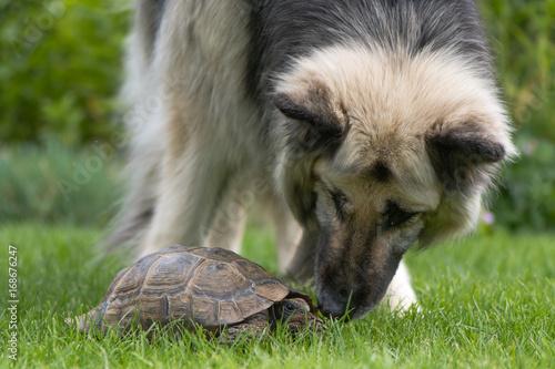 Aluminium Schildpad German shepherd dog investigating tortoise. Black and cream long-haired Alsatian sniffing pet tortoise on lawn