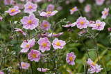 Japanese anemone (Anemone hupehensis) in flower. Pink garden plant in the family Ranunculaceae, aka Chinese anemone, thimbleweed or windflower - 168676611