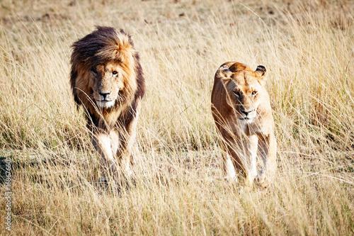 Fotobehang Lion Lion and Lioness Walking Towards Camera
