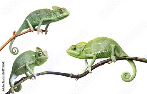 Fototapeta chameleons - Chamaeleo calyptratus on a branch isolated on white