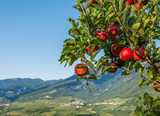 View down the idyllic vineyards and fruit orchards of Trentino Alto Adige, Italy. Trentino South Tyrol. In the foreground a typical apple plant of Trentino