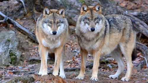 Aluminium Wolf Der Wolf - canis lupus