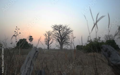 Fotobehang Baobab beautiful two baobab trees