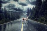 Hirsch bei Regen auf Strasse
