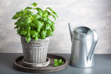 fresh basil herb in pot - 168740454