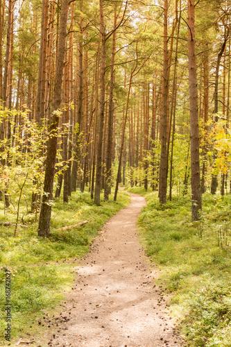 Papiers peints Route dans la forêt Pine forest with footpath
