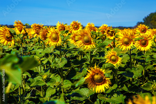 Field of sunflowers in the summer noon.