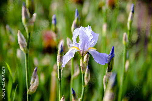 Aluminium Iris Purple irises bloom in the botanical garden