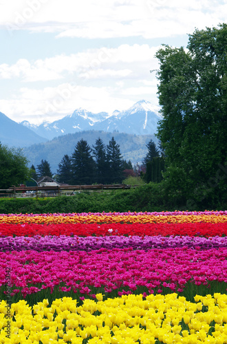 Fotobehang Tulpen Tulip fields in summer near mountains