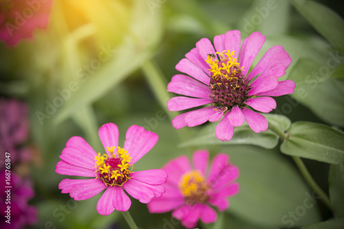 Poster asian pink flowers blossom in summer