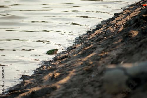 Rospo in acqua di lago Poster