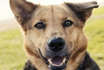 Adorable floppy eared German shepherd dog mixed breed portrait
