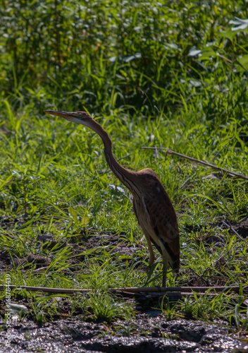 Fotobehang Great Blue Heron standing on a revier shore