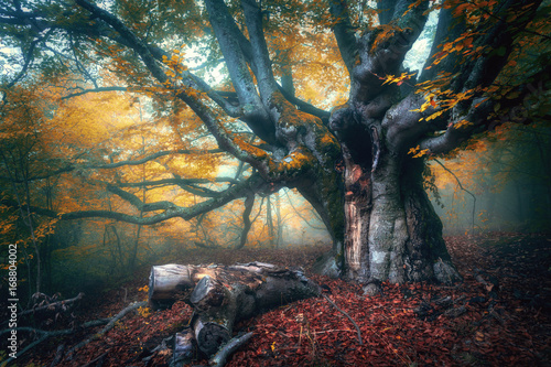 Fotobehang Betoverde Bos Fairy tree in fog. Old magical tree with big branches and orange leaves. Mystical autumn forest in fog. Magical forest. Amazing colorful landscape with misty tree with red foliage. Nature.Foggy forest