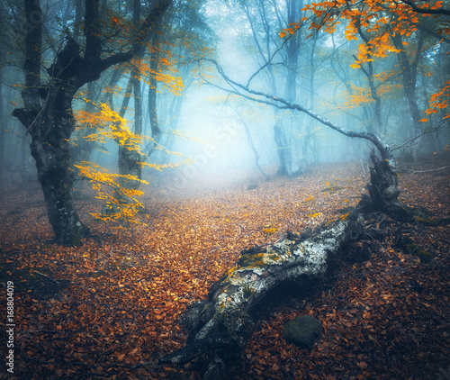 Aluminium Betoverde Bos Fairy forest in blue fog. Mystical autumn forest with path in fog. Old Tree. Amazing landscape with trees, log, path, colorful orange leaves. Nature background. Foggy forest with magical atmosphere