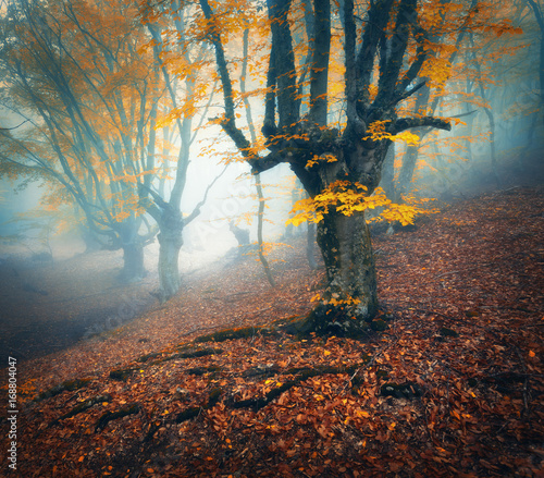Fotobehang Betoverde Bos Foggy forest. Mystical autumn forest in fog in the morning. Old Tree. Beautiful landscape with trees, colorful orange leaves and fog. Nature. Enchanted foggy forest with magical atmosphere. Plant