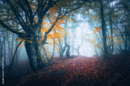 Canvas Betoverde Bos Dark fog forest. Mystical autumn forest with trail in blue fog. Old Tree. Beautiful landscape with misty trees, path, colorful yellow leaves. Nature background. Foggy forest with magical atmosphere
