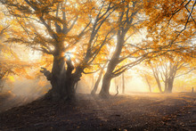 Magical old forest with sun rays in the morning. Amazing trees in fog. Colorful landscape with foggy forest, gold sunlight, orange foliage at sunrise. Fairy forest in autumn. Fall woods.Enchanted tree