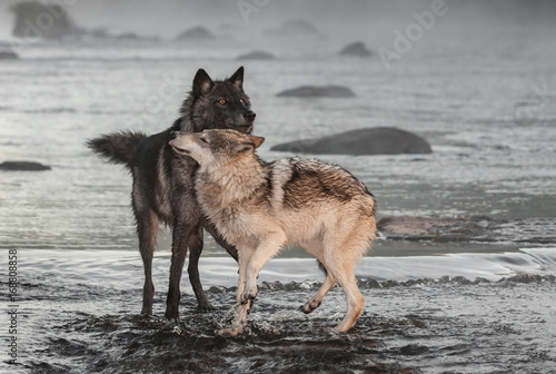 Grey Wolves (Canis lupus) Interact in River Poster