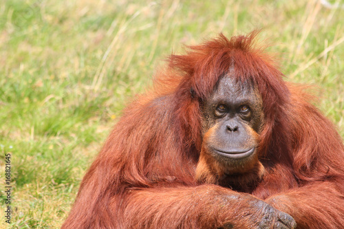 Plakat Orangutan