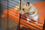 Hamster trying to escape from the cage - 168830003