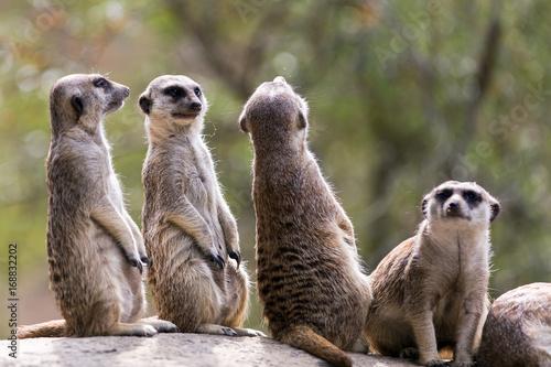Plakat Outdoor meerkats