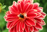 Bee on flower Dahlia (Georgina)