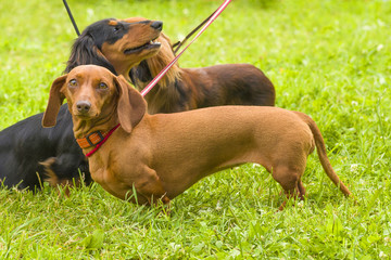 Typical Dachshund Close-up