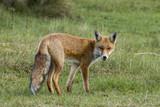 Red fox - 168846489